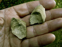 Two oyster fragments